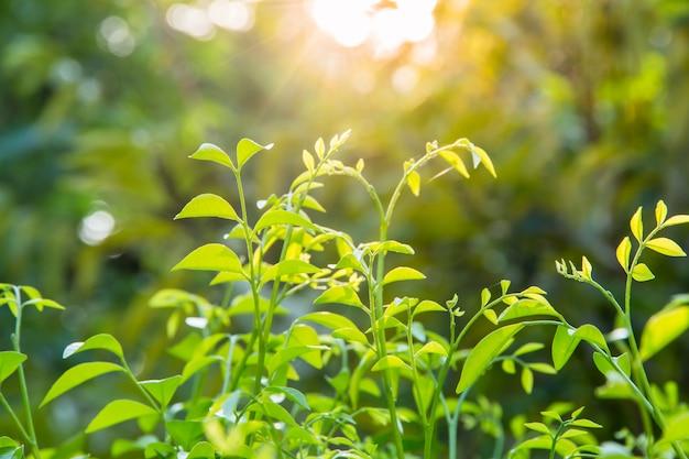 Close-up van groen blad op vage achtergrond in tuin met exemplaarruimte die als achtergrond, vers behangconcept gebruiken.
