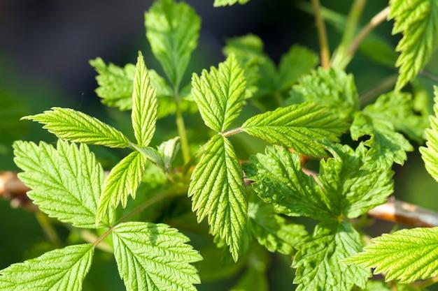 Close-up van groene bladeren van framboos of braambes in het bos of in de tuin