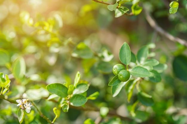 Close-up van groene citroenen groeien aan de citroenboom in een tuin