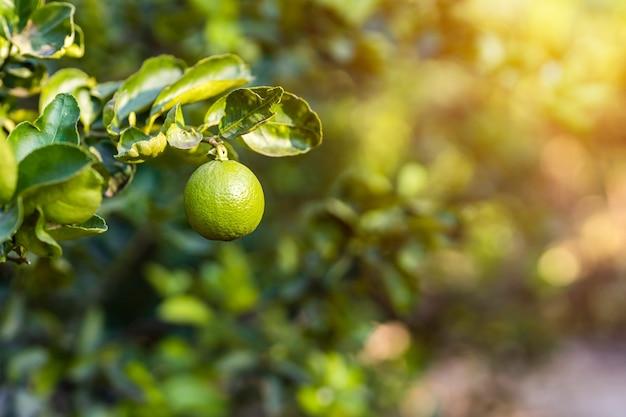 Close up van groene citroenen groeien op de citroenboom in een tuin achtergrond oogst citrusvruchten thailand.