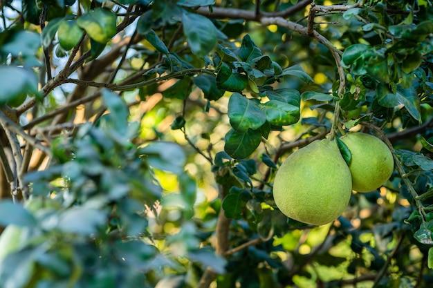 Close up van groene grapefruit groeien op de grapefruit boom in een tuin achtergrond oogst citrusvruchten thailand.