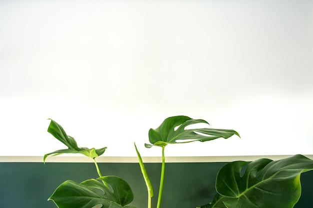 Close up van groene kamerplant binnenshuis op witte en groene muur minimalistische stijl interieur met ...