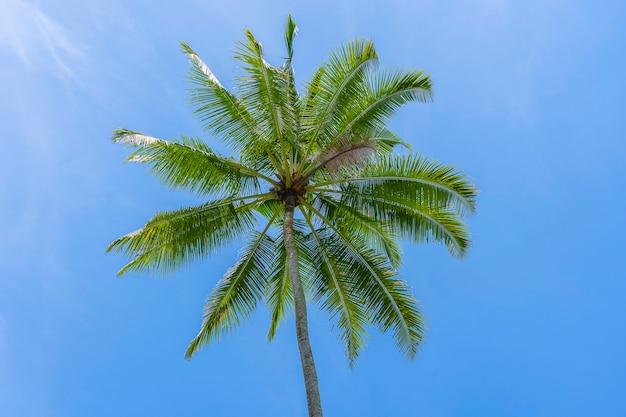 Close-up van groene kokosnoten die aan een palmboom hangen tegen een blauwe lucht, thailand