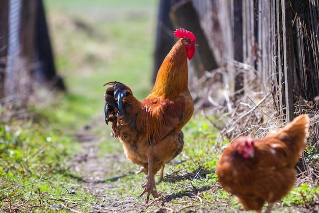 Close-up van grote mooie rode goed gevoede haan die trots troep van kippen bewaakt die in groen gras op heldere zonnige dag op vage achtergrond voeden. landbouw van gevogelte, kippenvlees en eieren concept.