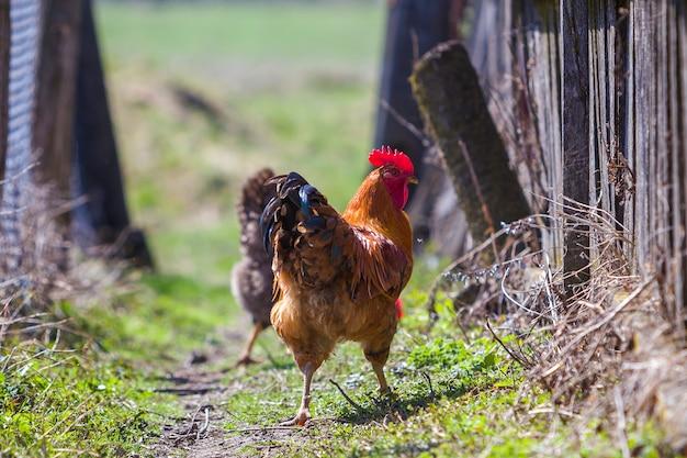 Close-up van grote mooie rode goed gevoede haan die trots troep van kippen bewaakt die in groen gras op heldere zonnige dag voeden. landbouw van gevogelte, kippenvlees en eieren concept.