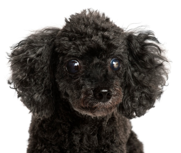 Close-up van halfblinde poedel, 13 jaar oud,