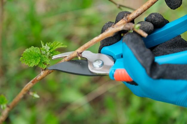 Close-up van handen die de lente het snoeien van framboos doen