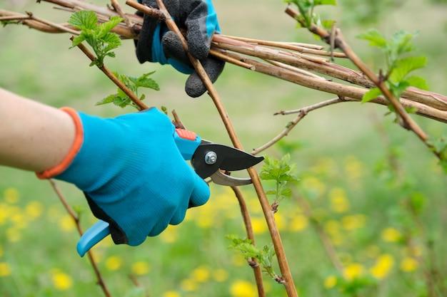 Close-up van handen die de lente het snoeien van frambozenstruiken doen