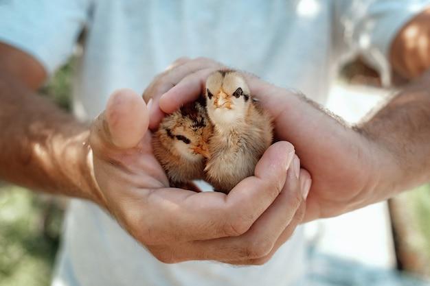 Close up van handen met pasgeboren kuikens