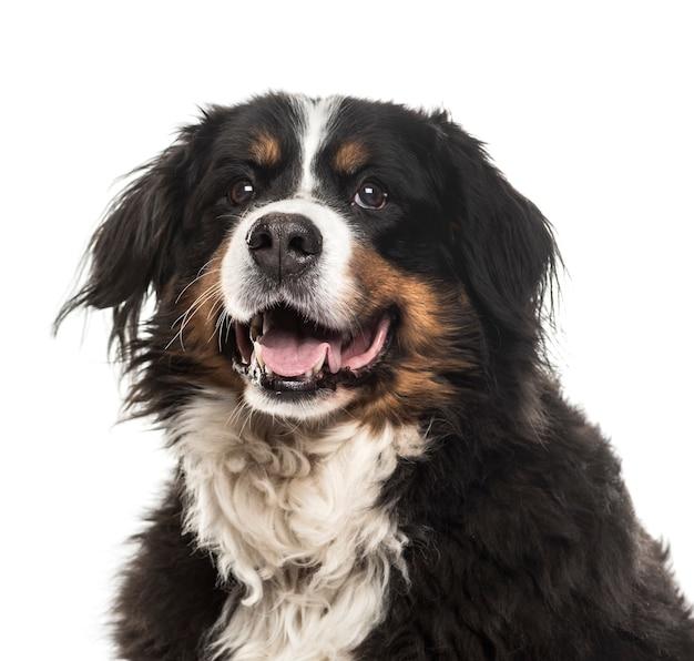 Close-up van het bernese mountain dog-hijgen