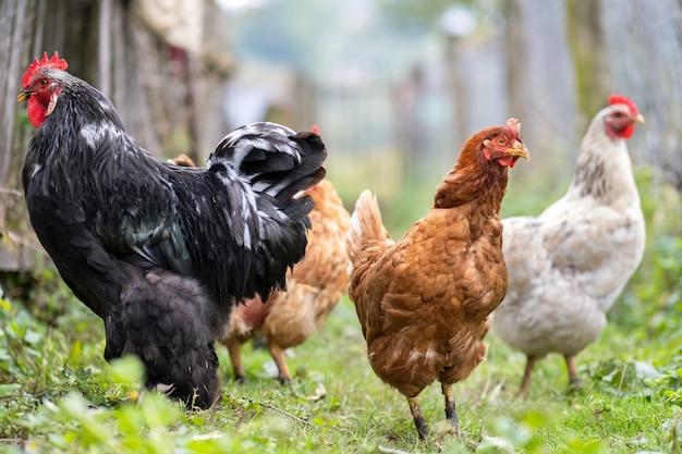Close-up van het binnenlandse kippen voeden op traditioneel landelijk boerenerf. kippen op schuur in ecoboerderij.