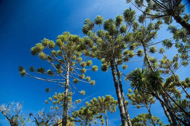 Close-up van het bovenste deel van araucaria angustifolia (braziliaanse pijnboom) met hemel en wolkenachtergrond, campos do jordao, brazilië.