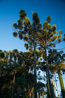 Close-up van het bovenste deel van araucaria angustifolia (braziliaanse pijnboom) met hemelachtergrond, campos do jordao, brazilië.