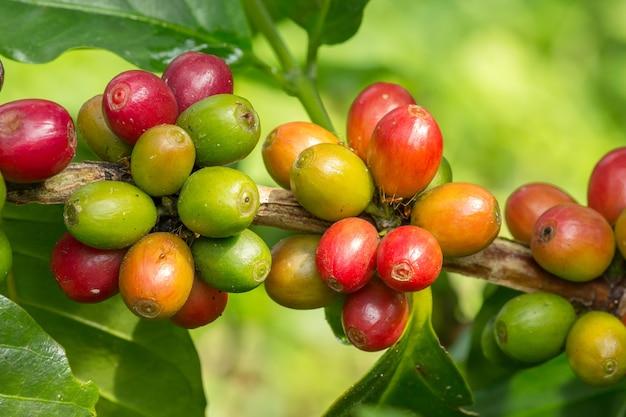 Close-up van het fruit van koffiebonen op boom bij aanplantinglandbouwbedrijf in thailand.