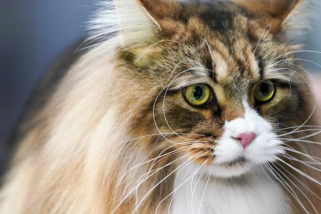 Close-up van het gezicht van de tijgerkat, lange snorharen, lang wit en bruin haar erop.