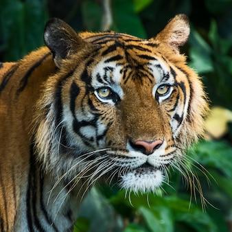 Close-up van het gezicht van een tijger. (panthera tigris corbetti)
