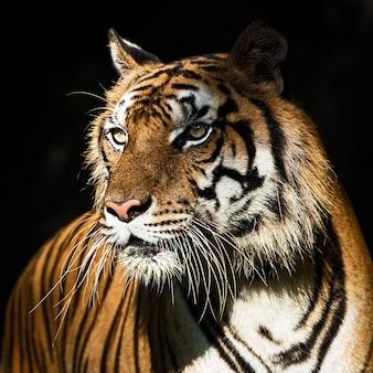 Close-up van het gezicht van een tijger.