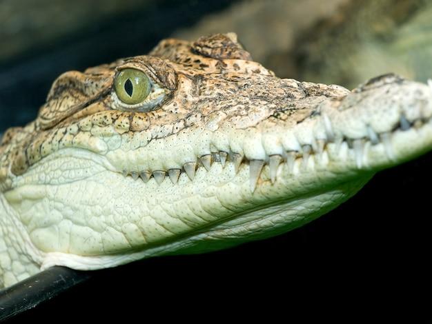 Close-up van het hoofd van de kleine krokodil