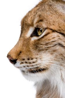 Close-up van het hoofd van een euraziatische lynx