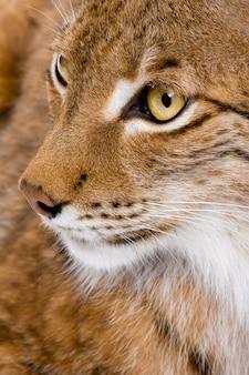 Close-up van het hoofd van een europees-aziatische lynx - lynx lynx op een geïsoleerd wit