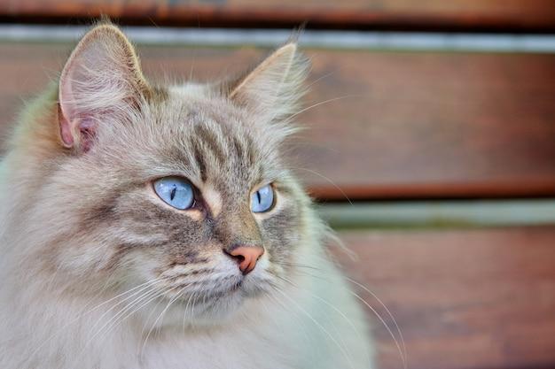 Close-up van het hoofd van grijze pluizige kat met blauwe ogen. kat met geïnteresseerde, vraag gezichtsuitdrukking. huisdieren en levensstijl concept.