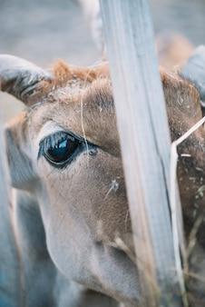 Close-up van het oog van de koe