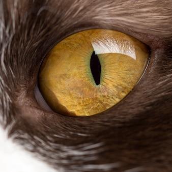 Close-up van het oog van een britse longhair