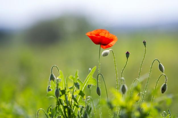 Close-up van het tedere bloeien verlicht door de zomerzon één rode wilde papaver en onverdunde bloemknoppen op hoge stengels op vage heldergroene de zomerachtergrond. schoonheid en tederheid van de natuur concept.