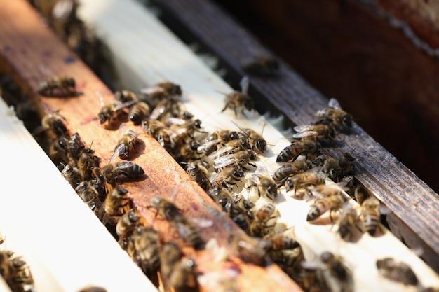 Close-up van honingbijen op houten kammen. landbouw bijenteelt concept