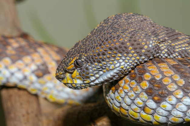 Close-up van hoofd mangrove pitviper slang