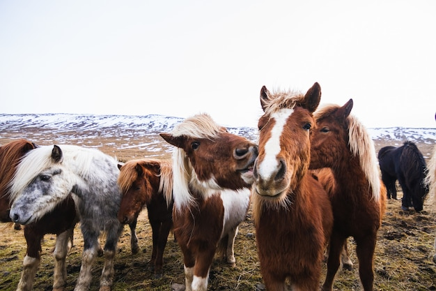 Close-up van ijslandse paarden in een veld bedekt met sneeuw en gras in ijsland