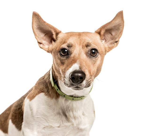 Close-up van jack russell terrier
