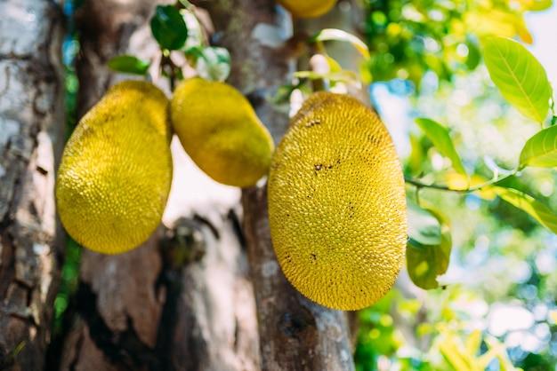 Close-up van jackfruit opknoping op boom
