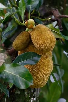 Close-up van jackfruitboom met rijpe vruchten