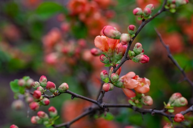 Close-up van japanse kweepeer bloeit ongeopende oranje bloemen en knoppen van japanse kweepeer in het voorjaar op ...
