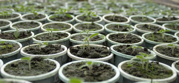 Close-up van jonge pasgeboren tomaten die in het zaaibed groeien om in de lente klaar te zijn