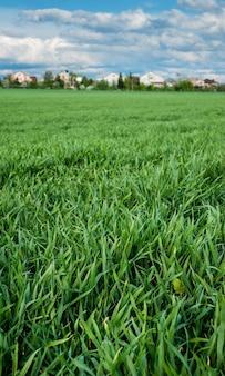 Close-up van jonge scheuten groene tarwe in de lente en dorp met mooie hemelwolken