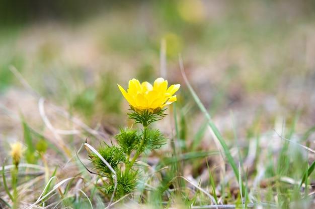 Close up van kleine gele wilde bloem bloeien in groene lente veld.