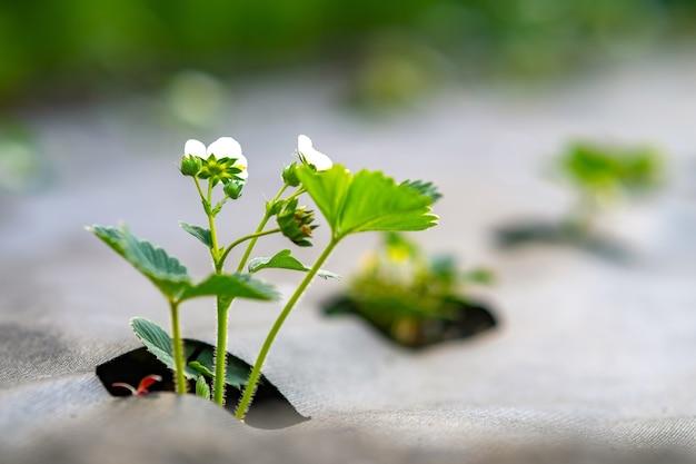 Close-up van kleine groene aardbeiplanten met witte bloemen die buiten in de zomertuin groeien.
