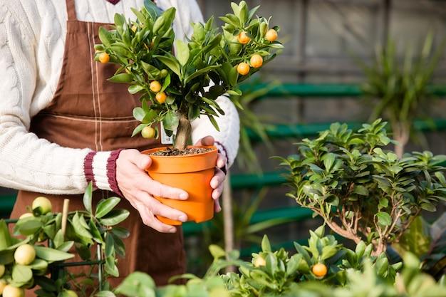 Close-up van kleine mandarijnboom in pot die door handen van mannelijke tuinman in bruine schort wordt gehouden