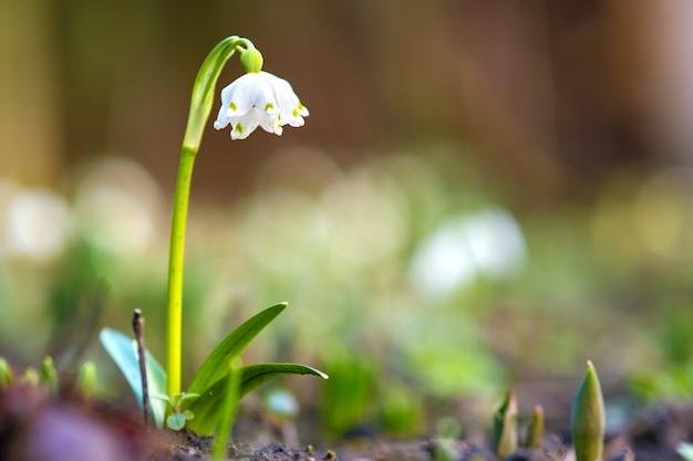 Close-up van kleine sneeuwklokjes bloem groeien onder droge bladeren in bos. eerste voorjaarsplanten in bossen.