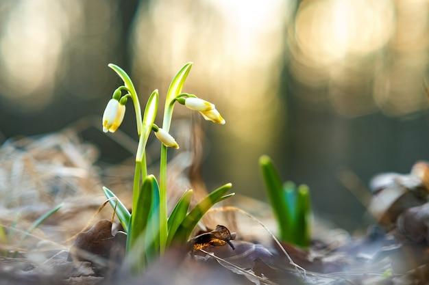 Close-up van kleine verse sneeuwklokjes bloemen groeien onder droge bladeren in het bos.