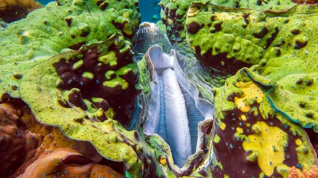 Close-up van kleurrijke reuzenschelp tridacna gigas groeit in het ondiepe water van raja ampat, indonesië.