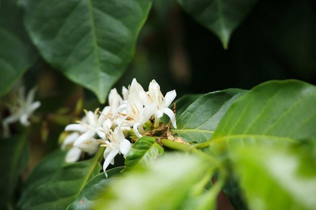Close-up van koffie bloem op boom
