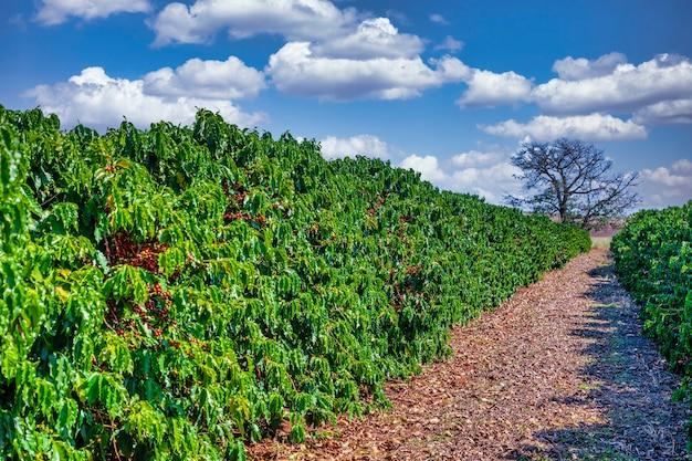 Close-up van koffiefruit in koffieboerderij en plantages in brazilië.