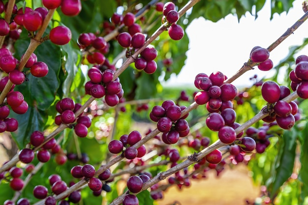 Close-up van koffiefruit in koffielandbouwbedrijf en aanplantingen in brazilië