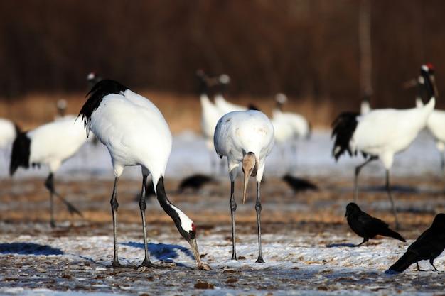 Close-up van kraanvogels die dode vissen op de grond eten die in de sneeuw in hokkaido in japan wordt behandeld