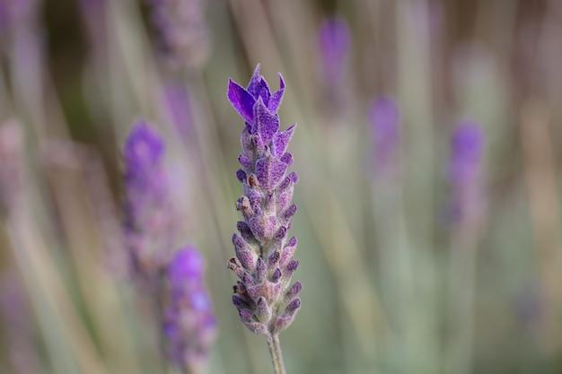 Close-up van lavendel in een tuin onder het zonlicht
