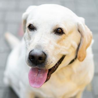 Close-up van leuk labrador met uit tong
