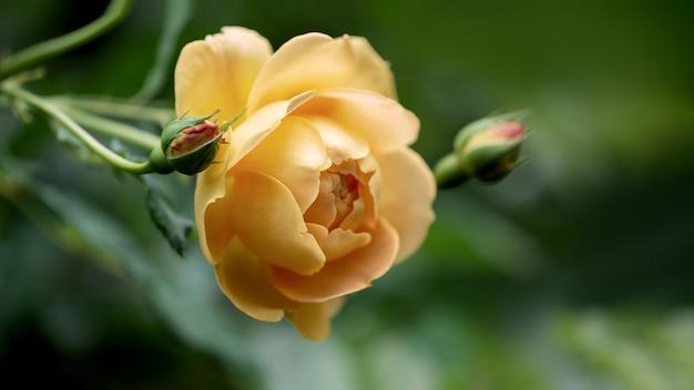 Close-up van lichtgele roos bloei in de herfst tuin